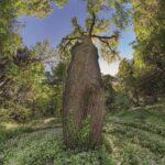 Quercia (Quercus robur), Foto di Mario Donadoni © Archivio Consorzio Villa Reale e Parco di Monza
